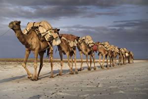 Фотографии Пустыни Верблюды