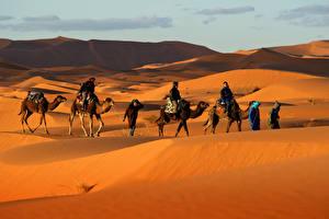 Картинки Пустыни Верблюды Мужчины Холмы Песок Животные