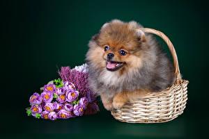 Фото Собаки Букеты Цветной фон Корзина Шпиц Животные