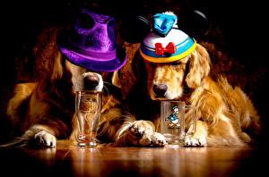 Фото Собаки Золотистый ретривер Вдвоем Шляпа Стакан Животные