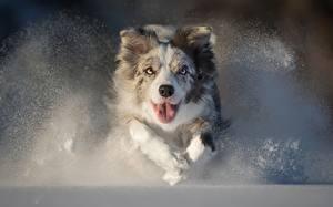 Фото Собаки Бег Австралийская овчарка Язык (анатомия) Смотрит Снег Животные