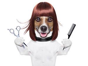 Фотография Собаки Белый фон Джек-рассел-терьер Волосы Морда Забавные Животные