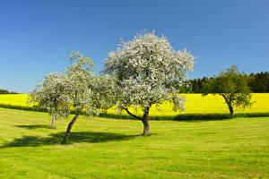 Фото Поля Цветущие деревья Природа
