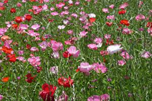 Картинки Поля Маки Цветы