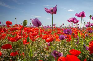 Фото Поля Маки Ромашка Много Бутон Цветы