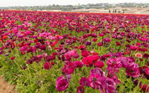 Обои Поля Лютик Бордовый Цветы