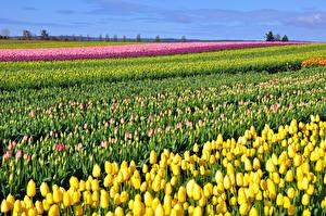 Картинки Поля Тюльпаны Много Цветы