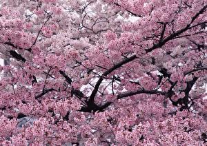 Картинки Цветущие деревья Ветки Розовый Цветы