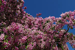 Фотографии Цветущие деревья Ветвь Розовый Цветы