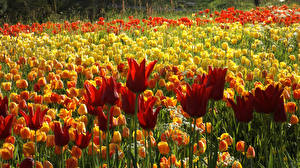 Картинки Германия Сады Тюльпаны Много Mainau Цветы