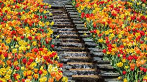Фотографии Германия Парки Тюльпаны Много Нарциссы Водопады Лестница Mainau Island Цветы