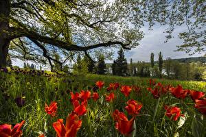 Фотографии Германия Весенние Тюльпаны Ветки Трава Mainau Island