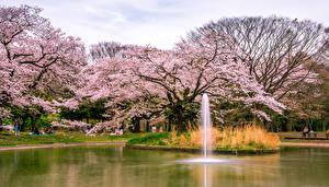 Картинка Япония Токио Парки Пруд Цветущие деревья Yoyogi Park Природа