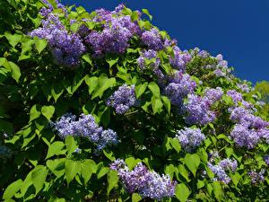 Картинка Сирень Ветвь Листва Цветы