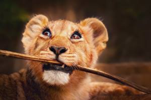 Картинки Львы Детеныши Смотрит Ветки Морда