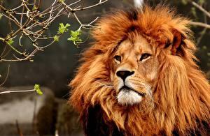Фотографии Львы Взгляд Животные
