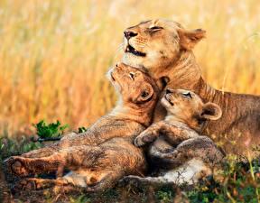 Обои Львы Львица Детеныши Трое 3 Милые Животные картинки