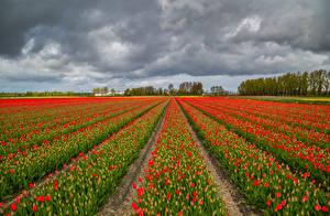 Картинки Голландия Поля Тюльпан Много Красный цветок