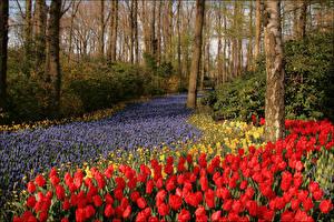 Картинка Нидерланды Парки Весна Тюльпаны Нарциссы Гиацинты Кусты Keukenhof Природа