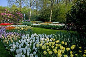 Картинка Нидерланды Парки Тюльпаны Гиацинты Дизайн Keukenhof Природа