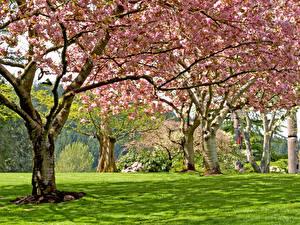 Картинка Парки Весенние Цветущие деревья Трава
