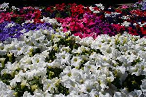Фото Петунья Много цветок