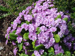 Картинка Первоцвет Вблизи Фиолетовый