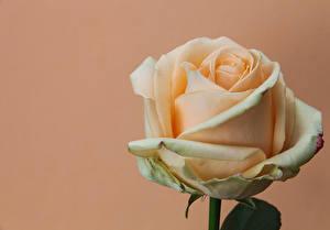Картинки Розы Вблизи Цветной фон Цветы
