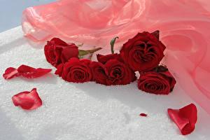 Фото Розы Красный Лепестки