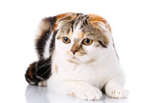 Обои Скоттиш-фолд Кошки Белый фон Животные картинки