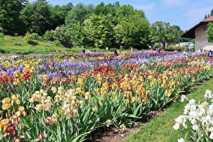 Обои Швейцария Сады Ирисы Basel Природа