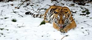 Обои Тигры Снег Животные картинки