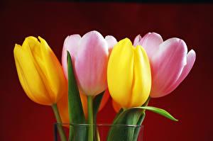 Фото Тюльпан Крупным планом Цветной фон цветок