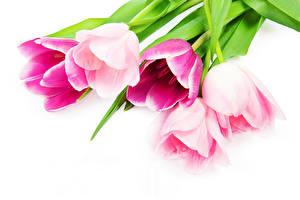 Картинка Тюльпаны Вблизи Белый фон Розовый Цветы