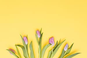 Картинки Тюльпаны Цветной фон Розовые цветок