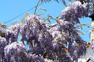 Фотография Глициния Ветвь Цветы