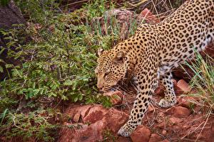 Фото Большие кошки Леопарды