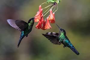 Картинки Птицы Колибри Двое Животные