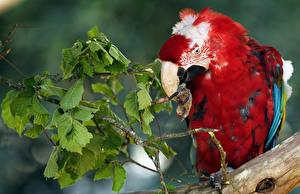 Картинки Птицы Попугаи Ветки Клюв
