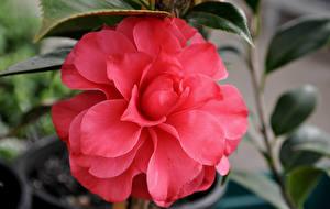Фотографии Камелия Вблизи Розовый Цветы
