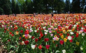 Фотография Канада Парки Тюльпаны Много Botanical Gardens Montreal Цветы
