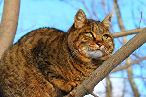 Обои Коты Жирный Ветвь Смотрит Животные