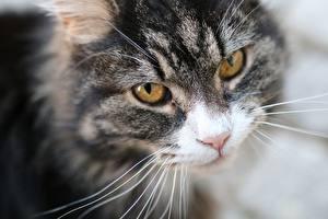 Картинка Кошки Смотрит Морда Усы Вибриссы