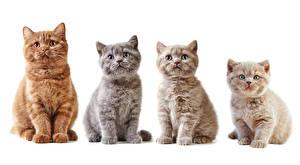 Фотографии Кошки Белый фон Взгляд Котята Животные