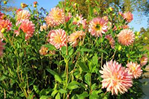 Фото Георгины Вблизи Бутон цветок