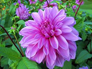 Фото Георгины Крупным планом Розовый Цветы