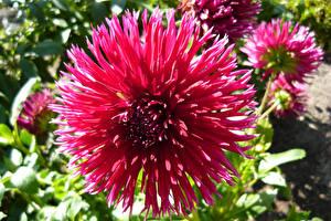 Фотография Георгины Крупным планом Розовых цветок