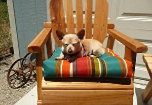 Картинки Собаки Кресло Чихуахуа Животные