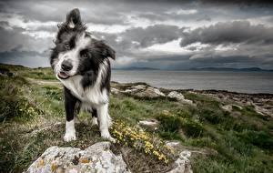Фотографии Собаки Бордер-колли Животные