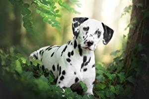 Фотографии Собаки Далматинец Животные